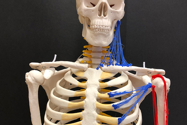 Teaching College Anatomy and Physiology with Tactile Technology